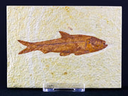 3.3 IN Knightia Eocaena Fossil Fish Green River Formation WY Eocene Age Free COA & Stand - Fossil Age Minerals