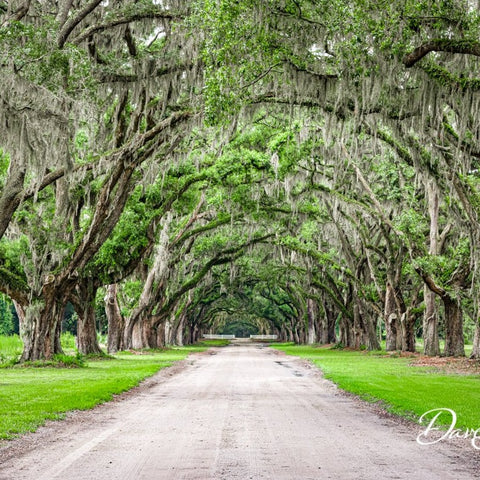 Oak Avenue at Wormsloe, Dave Shipper, Gallery 209