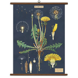 A vintage wall chart featuring the anatomy of a dandelion on a navy blue background