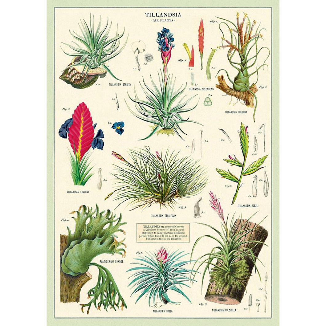 An art print and paper wrap which features various species of airplant (tillandsia).
