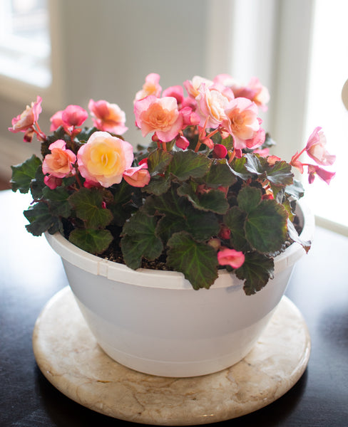 'Glory' Begonia Hanging Basket