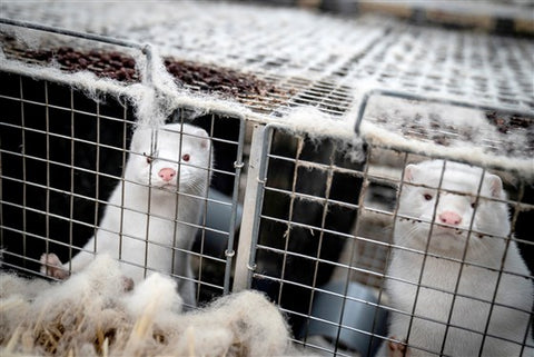 Minks in Fur Farm Cages