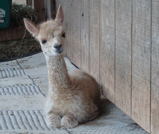 First Cria 2017 - It's a Girl!