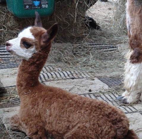 Summer Day 2 - 2 More Cria Arrive!