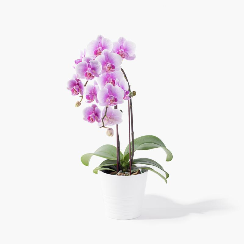 flowers_vase Bright Delight Orchid (incl. FREE 3pcs Ferrero Rocher)