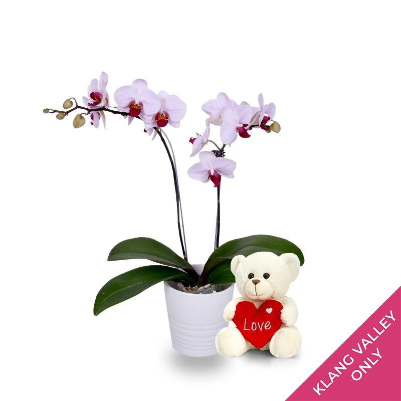 Bright Delight Orchid (incl. FREE Teddy Bear)