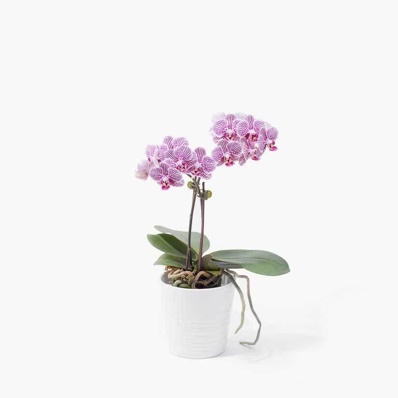 flowers_potted Lavender Delight Orchid