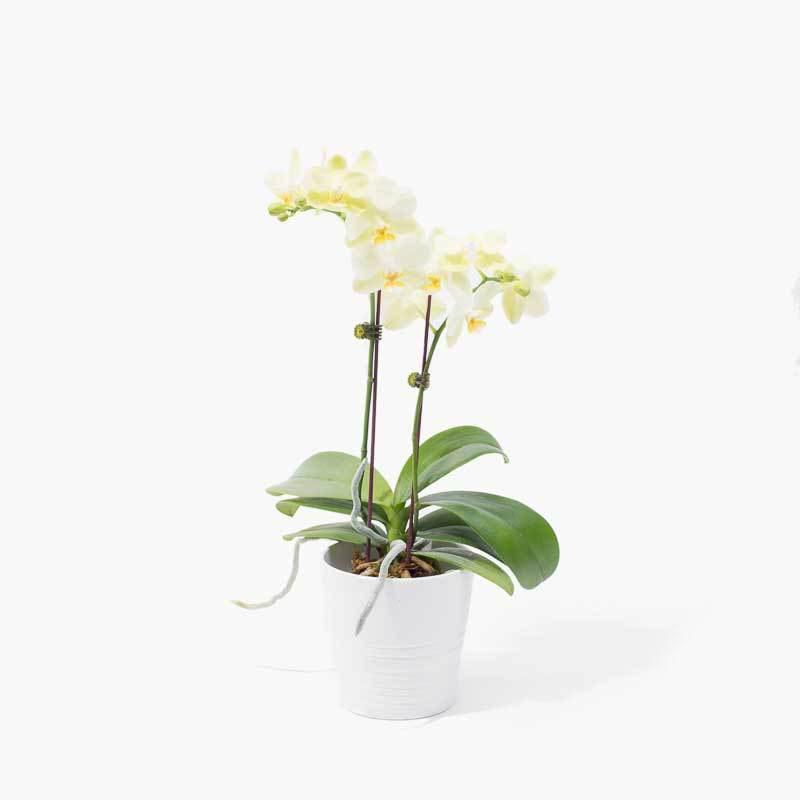 flowers_potted Lemon Delight Orchid