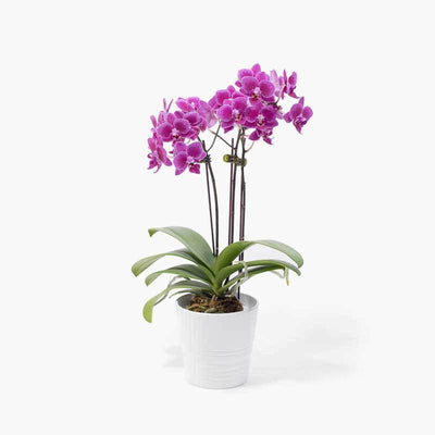 flowers_potted Purple Mini Orchid