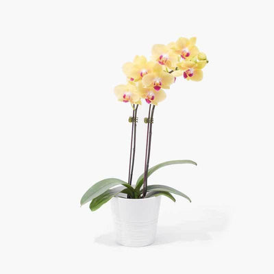 flowers_potted Sunshine Orchid
