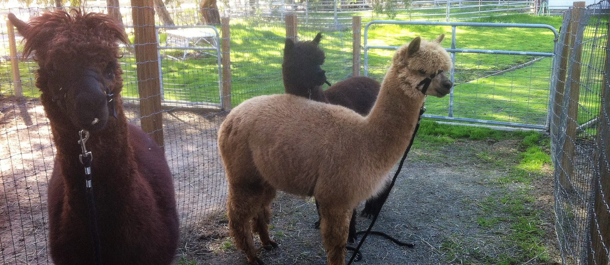 Living on an Alpaca Farm