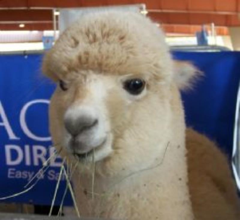 How Baby Alpacas Launched a Business and Built Family Ties