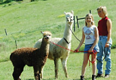 living with alpacas