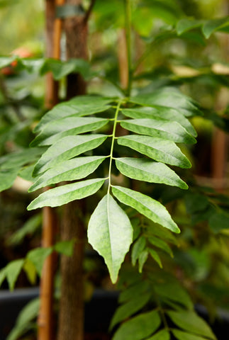 Indian Curry Leaf Plant