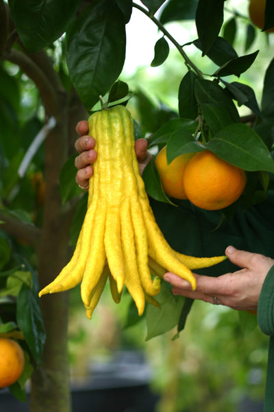 Buddha's Hand Citron Giant Fruit