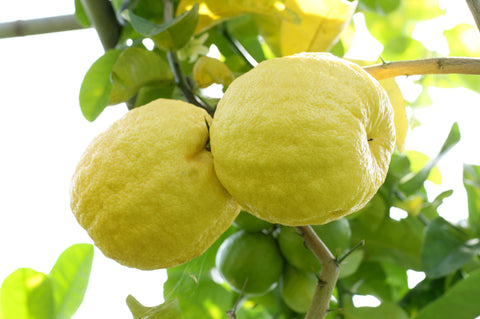 Giant Nine Pounder Lemon Fruits