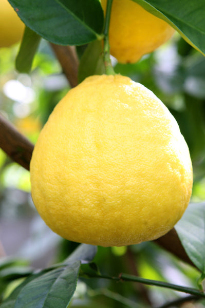 Large Ponderosa Lemon Fruit