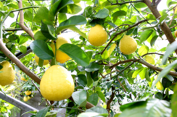 Large Ponderosa Lemon Fruit hanging in a tree