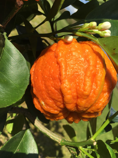 Sour Orange ribbed Canaliculata Fruit