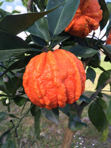 Sour Orange Canaliculata Fruit