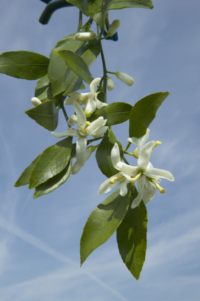 Clausellina Satsuma branch with flowers