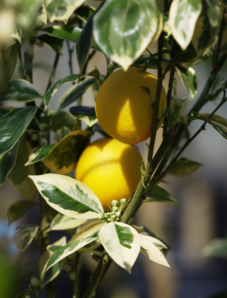 Variegated Orange Fruit hanging on the plant