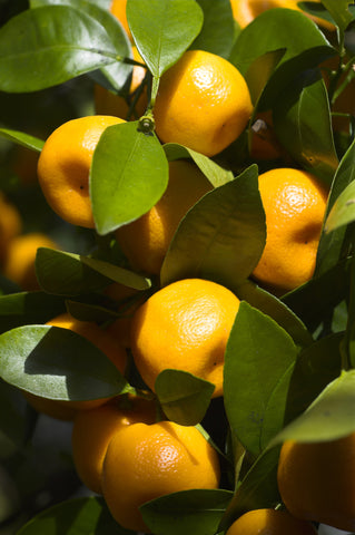Calamondin Fruit
