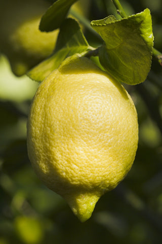 Lisbon Lemon Fruit