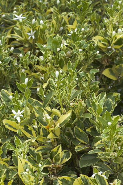 Variegated Calamondin Leaves and Flowers