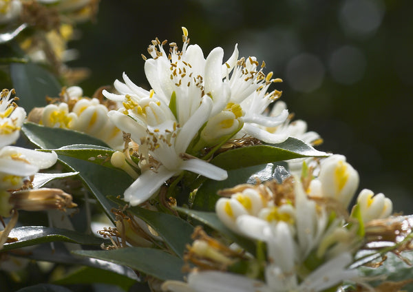 Chinotto Flowers