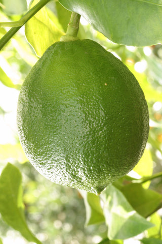Fantastico Bergamot Fruit