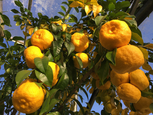 Yuzu fruits hanging from a tree at The Citrus Centre, Pulborough