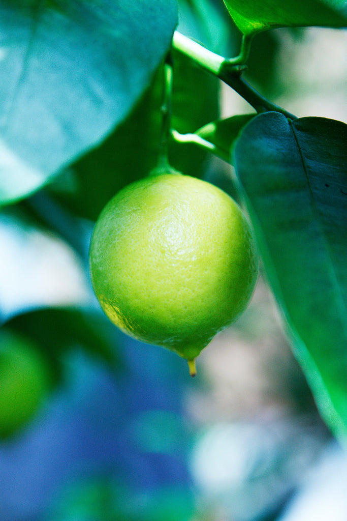 Palestine Sweet Lime Fruit Hanging on a tree