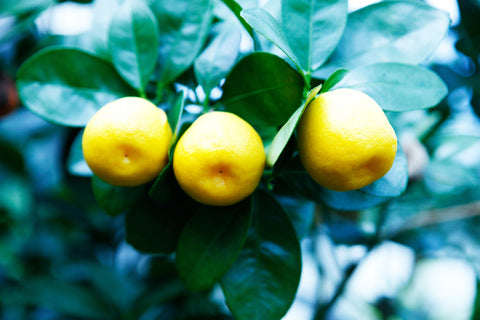 Fukushu or Changshou Kumquat Fruit on Tree