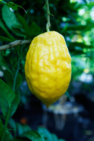 Etrog Citron Yellow Fruit with persistent style