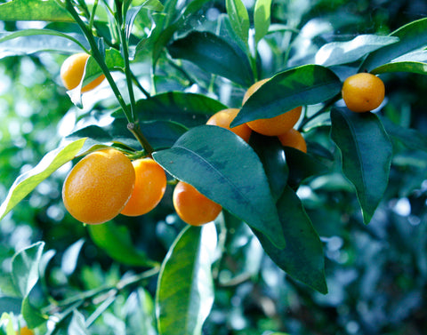 Nagami Kumquat fruits on 100 year old tree