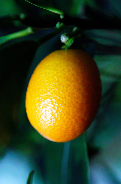 Nagami Oval Kumquat Fruit