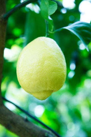 Amalfi Lemon Fruit Hanging on a tree in Sussex