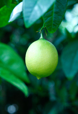 West Indian or Key Lime Fruit on tree