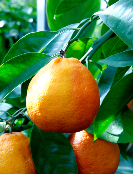 Minneola Tangelo Fruits on tree