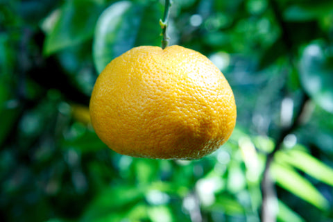 Encore Mandarin Fruit hanging from tree