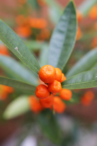 Hong Kong or Golden Bean Kumquat Fruit bunch
