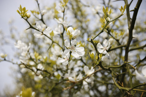 Poncirus trifoliata in full flower