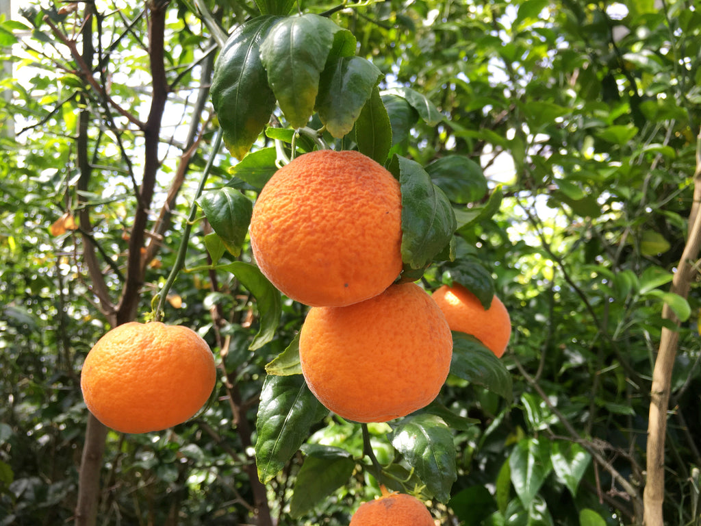 Citrandarin Fruit Hanging from Tree