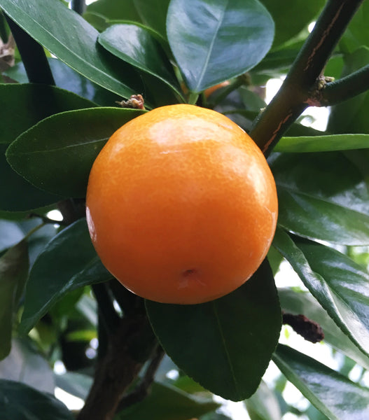 Ripe Kucle fruit on tree