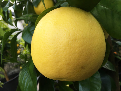 Marsh Grapefruit yellow Fruit