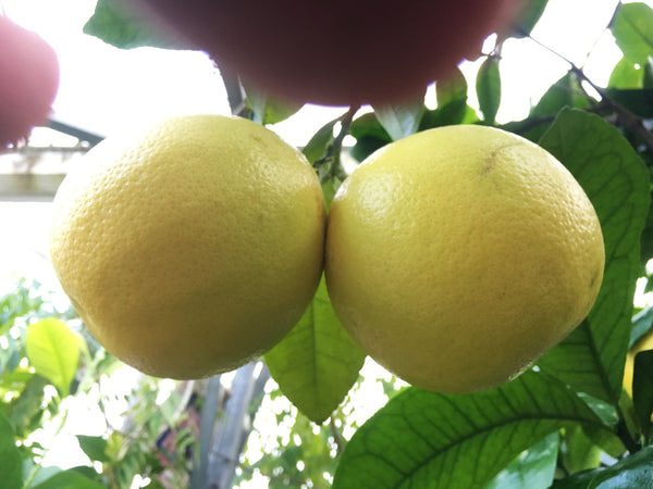 Marsh Grapefruit pair of fruits