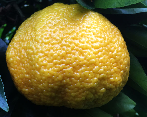 Ripe Ugli Fruit