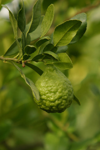 Kaffir Lime Fruit