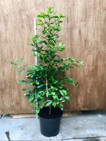 Miracle Berry Bush with fruit and Flowers 1 metre high